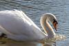Look at me! I am Kara - the swan queen! (..Jan) Tags: schwan swan queen fluss flus river fulda hessen schönheit love symbol