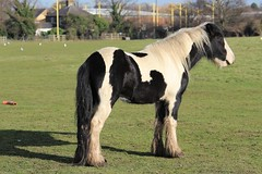 Heathrow Horse (R.K.C. Photography) Tags: heathrow londonheathrowairport horse animal london hattoncross canoneos100d smileonsaturday beautyofthebeast