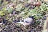 20171215_Montigny-sur-Loing_Bouvreuil pivoine (thadeus72) Tags: aves birds bouvreuilpivoine eurasianbullfinch fringillidae fringillidés oiseaux passériformes pyrrhulapyrrhula
