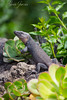 Lizard (mk2g1) Tags: reptil fuji lagarto plantas plants green xf100400 lizard xt2