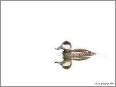 Bluebill (pandatub) Tags: ebparks ebparksok bird birds duck ruddyduck ch coyotehills