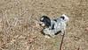 Jimi going to the pond (GerdaKettner) Tags: rescuedog lhasaapso jimi dogs hund pero