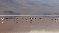 Red lagoon (marketa.staf) Tags: flamingos pink redlagoon bolivia