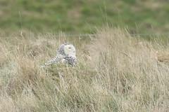 Snowy Owl (bubo scandiacus) (mrm27) Tags: norfolk owl snowyowl bubo buboscandiacus snettisham snettishamrspb rspb rspbsnettisham