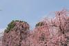 城南宮|京都 (KaguraYanki) Tags: canon650d 京都 城南宮 源氏物語 花見 花之庭 梅花 梅 梅花雨 枝垂梅 しだれ梅 椿まつり photography
