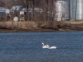 IMGPJ32673_Fk - Jackson County Indiana - Migratory Birds - Medora - Swans