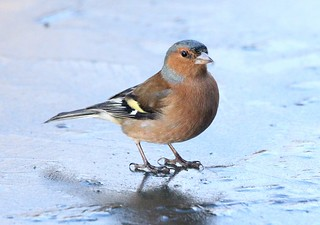 Cock Chaffinch on ice - Slimbridge WWT