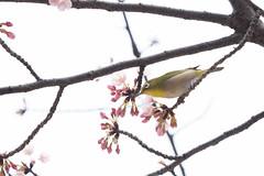 _3188191.jpg (plasticskin2001) Tags: mejiro sakura bird flower
