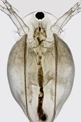 Simocephalus (mr.sansibar) Tags: pondlife planapo simocephalus focusstacking olympusbh2 photomicrography microscopy heliconfocus waterflea cladocera