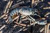 IMG_0357 (Adrian Royle) Tags: lincolnshire skegness gibraltarpointnnr nature wildlife marine beach shellfish crabs urchin lobster starfish nikon macro