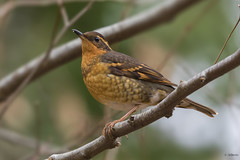 Varied Thrush / Grive à collier (shimmer5641) Tags: ixoreusnaevius variedthrush griveàcollier thrushesfamily songbird turdidae birdsofbritishcolumbia birdsofnorthamerica