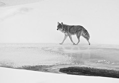 Ice Walker (kpgoldman.nature) Tags: winter snow ice mammal coyote evening february 2018 yellowstone lamar kengoldmanphotography wild wildlife nature natural