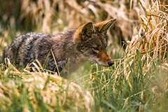 Coyote in hunting mode (Waspane) Tags: coyote sonya7r3 nikon800mmais hunting
