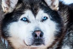 Arctic sled dog (Kristaaaaa) Tags: animals arctic dog dogs fur huskey portrait sleddog snow tuktoyaktuk winter canada black white northwestterritories north blue eyes closeup close 100400mm zoom fuji fujifilm fujixt2 fujilove fujinon xf