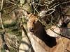 Red deer (Deanne Wildsmith) Tags: reddeer chasewater staffordshire animal mammal earthnaturelife deer