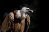 Buitre común / Griffon vulture (bienve958) Tags: griffonvulture buitrecomun gypsfulvus voltorcomu carroñero aves aus birds animal retrato portrait