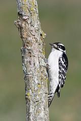 Downy Woodpecker (adbecks) Tags: downy woodpecker nikon d500 200500 wildlife birds