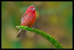 Beauty of The Nature (asifsherazi) Tags: redbilledfirefinch asifsherazi tumbilicliff lakebaringo kenya wildlife