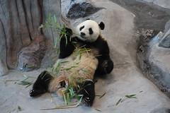 Panda (irio.jyske) Tags: animal bear pandabear nice cute zoo park eat food enjoy play playfull naturepic naturescape naturephotograph naturepictures naturephoto naturephotos naturephotographer nature travel winter ähtäri finland beauty