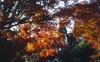 Maple leaves 2017/Kyoto (tlw1012) Tags: kyoto momiji film ga645w fujifilm e100vs
