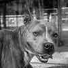 Meatloaf10Mar201867-Edit.jpg (fredstrobel) Tags: dogs pawsatanta phototype atlanta blackandwhite usa animals ga pets places pawsdogs decatur georgia unitedstates us