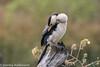 Little-pied-cormorant (stanley.ashbourne) Tags: australia holiday 2017 littlepiedcormorant brisbane nature wildlife wildlifephotography