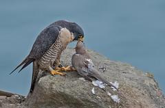 The matriarch of the cliffs (knobby6) Tags: peregrinefalcon falcon birdofprey hawk california nikon500mm d5