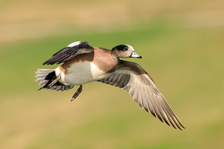 Wigeon Duck Drake