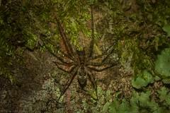 new Desid (dustaway) Tags: arthropoda arachnida araneae araneomorphae desidae neodesis australianspiders spideronbark tamborinemountain mounttamborine sequeensland queensland australia