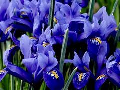 Cluster Purple Amongs the Blades (Robert Cowlishaw (Mertonian)) Tags: wonder awe ineffable canon powershot g1x mark iii lunchwalk kneeling sideways petals purple blue green deepseeksdeep cluster mertonian robertcowlishaw smallflowers grass curvy