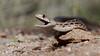Gopher Snake ( Explored 3-17-2018 ) (gilamonster8) Tags: gopher snake reptile rock ground canon eos ef400mm56l 7dmarkii ngc explored eyes explore flickrelite