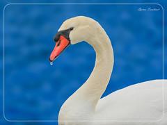 Κύκνος !!! (Spiros Tsoukias) Tags: hellas thessaloniki flamingo καλοχώρι δήμοσ δέλτα φλαμίνγκο φοινικόπτερα ερωδιοί αργυροπελεκάνοι αργυροτσικνιάδεσ λευκοτσικνιάδεσ βαρβάρεσ γεράκια πάπιεσ φαλαρίδεσ θεσσαλονίκη ορνιθοπανίδα πάρκοκέρκυρασ υδρόβιαπτηνά γαλλικόσ αξιόσ λουδίασ αλιάκμονασ εθνικόπάρκο δέλτααξιού ελλάδα μακεδονία πουλιά κύκνοσ κύκνοι λιμνοθάλασσα φύση ποτάμια greece macedonia birds lagoon nature rivers grecia uccelli laguna natura fiumi griechenland mazedonien vogel lagune natur flusse grece macedoine oiseaux rivieres axiosdelta nationalpark aquaticbirds swan swans