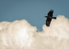 Cuervo (Markus' Sperling) Tags: ave pajaro cuervo corb animal bird cielo sky nube nuvol cloud naturaleza flight volar