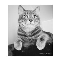 Happy Caturday! (Monica Muzzioli) Tags: cat bw blackandwhite black white animal pet
