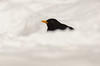 Black and White (Peter Quinn1) Tags: blackbird maleblackbird garden sheffield snow cold winter foraging gardenbird