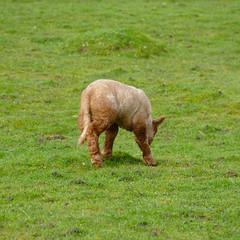 Ewe and lamb: food choice (Dave_A_2007) Tags: animal lamb mammal nature sheep wildlife wilmcote warwickshire england
