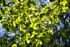 Sunlight through leaves  -  (Selected by GETTY IMAGES) (DESPITE STRAIGHT LINES) Tags: britishcolumbia bc canada vancouverisland nikon d800 nikond800 nikkor2470mm nikon2470mm day paulwilliams flickr tree branch branches foliage demise death decay beauty beautiful peace peaceful calm still beautifulbritishcolumbia nature naturalbeauty mothernature rocks ontheroacksgoldstreamprovincialpark goldstreamprovincialparkbc niagaracreektrestle salmonrun salmon spawning park waterfall waterfalls forest woods wood leaf getty gettyimages gettyimagesesp despitestraightlinesatgettyimages