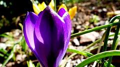 Krokus. (andrzejskałuba) Tags: polska poland pieszyce dolnyśląsk silesia sudety europe panasoniclumixfz200 roślina plant kwiat flower krokus crocus violet fiolet zieleń green garden ogród natura nature macro wiosna spring 100v10f