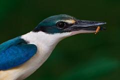 Kingfisher with worm (Sunrider007) Tags: a7r3 a7riii sony 100400 animal wildlife bird kingfisher nature kuala lumpur kualalumpur kl malaysia feather beak eye wing green