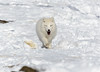 Arctic Fox (pxr57) Tags: sainteannedebellevue québec canada ca fox nikon d600 eco zoo arcticfox white snow