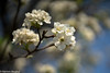 Apricot flowers (haroonmughal) Tags: apricot flower spring white bokeh sonya7rii canon100mmf28l sky