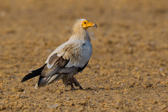 Egyptian Vulture | Neophron percnopterus | सफ़ेद गिद्ध (Paul B Jones) Tags: india egyptianvulture neophronpercnopterus सफ़ेदगिद्ध jorbeer bikaner rajasthan jorbeervulturesanctuary wildlife nature bird animal canoneos1dmarkiv ef800mmf56lisusm asia asian tourist tourism travel ecotourism indian indiya inde indien indië endangered rare iucn redlist