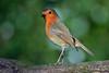What! (Mike Slade.) Tags: europeanrobin erithacusrubecula bird stovercountrypark newtonabbot devon ©mikeslade