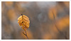 Lumière en sous-bois (Joce.V) Tags: feuilles forêt sousbois leaf leaves nature hêtre bokeh canon canonef100mmf28macrousm canoneos7dmarkii