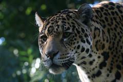 Jaguaress (Ger Bosma) Tags: 2mg140350filtered jaguar pantheraonca yaguar yaguareté americas southamerican largepredator bigcat feline onçapintada ягуар jaguars head portrait