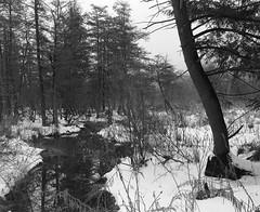 (babireley) Tags: pentax67 pentaxsmc75mmf45 berggerpancro400 pawilds pottercounty pa pottercountypa pinetree winter snow