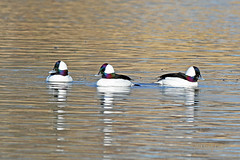 Bufflehead Drakes 18-0212-4659 (digitalmarbles) Tags: bufflehead male duck ducks divingduck drake drakes waterfowl bucephalaalbeola anseriformes water swimming reflection reflecting ripples wake three threeinarow nature wildlife animal bird birds birder birdphoto birdphotography wildlifephotography reifel sanctuary reifelsanctuary deltabc lowermainland bc britishcolumbia canada canoneosrebelt7i canon