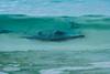 Stingray 500_4593.jpg (Mobile Lynn) Tags: fish stingray nature wild fauna myliobatoidei rays wildlife puntacormorantfloreanaisland galapagosislands ecuador ec