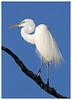Ardea alba (docsunny) Tags: ardea alba white egret