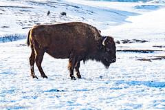 Custer Park 20180223-0051 (Photos By Bob Van) Tags: animals blackhills buffalo csp custerstatepark landscape snow southdakota winter hermosa unitedstates us
